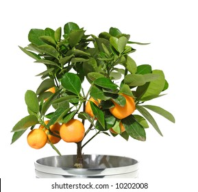potted citrus tree in a metallic pot, top only , isolated,