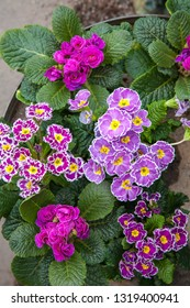 Potted colourful primulas in spring.