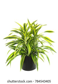 Potted Compact Dracaena Warneckii Variegate, Lemon Lime Isolated on White