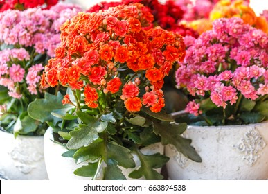 Potted decorative succulent Kalanchoe blossfeldiana in different colors