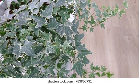 Potted English Ivy (Hedera helix 'Glacier') is an air-purifying plant for indoor.