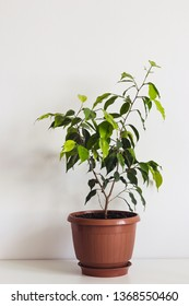 Potted ficus benjamin houseplant on white table. Plant Scandinavian interior.