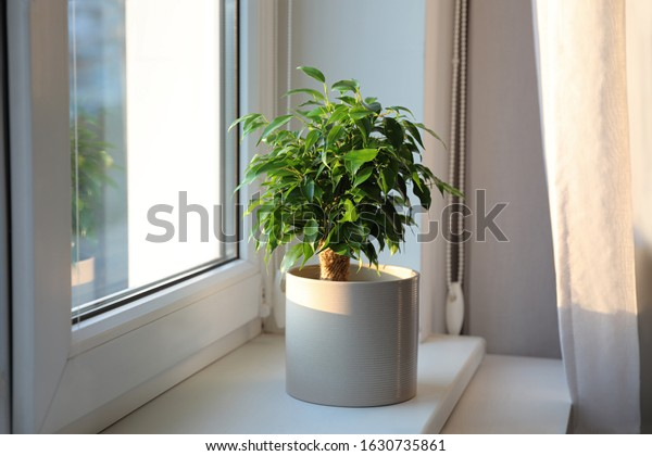 Potted Ficus benjamina plant on window sill at home