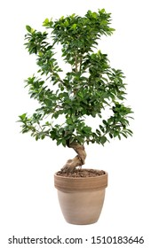 Potted Ficus ginseng plant with its thick gnarled twisted trunk and fresh green leaves in a terracotta pot isolated on white