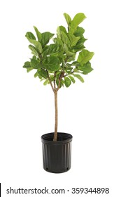 Potted Ficus Larata or Fiddle Leaf Fig Tree Isolated on White
