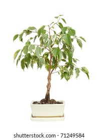 Potted ficus shot over white background