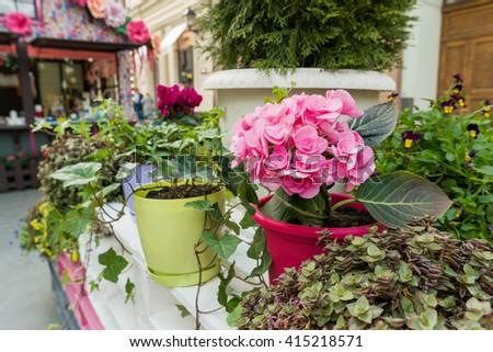 Potted flowers pink azalea street decoration stock photo edit now potted flowers of pink azalea street decoration with plants and flower compositions moscow mightylinksfo