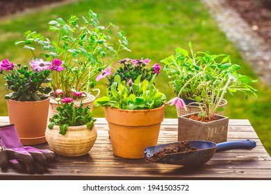 Potted flowers, plants and herbs in garden, balcony or roof