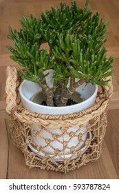 Potted Gollum Jade or Trumpet Jade plant