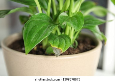 Potted home plant with leaf blight disease on  blurred background, closeup