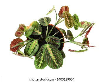 Potted home plant with leaf blight disease on white background, top view