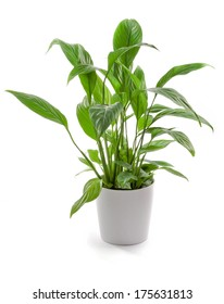 Potted Houseplant Isolated on a White Background, Spathe