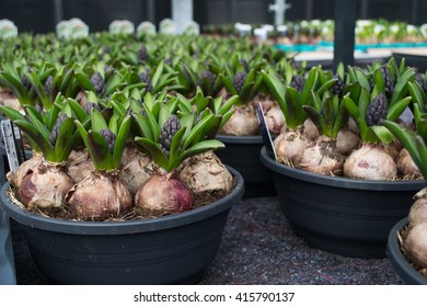 Potted hyacinth bulbs in a greenhouse