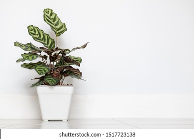 potted indoor plant of Calathea on a white wall background with copy space