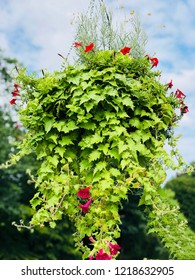 A potted ivy plant and morning glory flowers hanging on Old Drake Hill Flower Bridge in Simsbury, Connecticut ,United States.