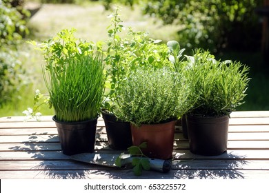 Potted kitchen herbs such as rosemary, thyme, parsley, sage, oregano and chives on a wooden table in the sunny garden, for fresh and healthy cooking