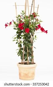 Potted mandevilla sanderi plant against white background