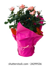 A potted mini rose bush, isolated against a white background