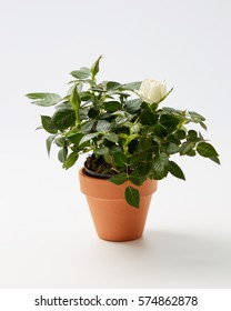 Potted Miniature Rose Plant. Miniature Rose house plant in flower pot.
