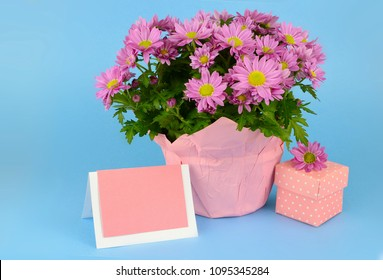 Potted mums, Chrysanthemum morifolium, wrapped in pink paper on a blue background.  A gift box in millenial pink with white polka dots and a blank tag are next to the flowers. Good for birthdays.