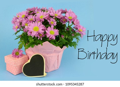 Potted mums, Chrysanthemum morifolium, wrapped in pink paper on a blue background.  A gift box in millenial pink with white polka dots and a blank tag are next to the flowers.Happy Birthday message.