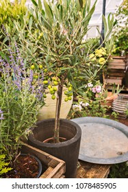 Potted olive tree on garden table.