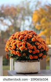 Potted Orange Chrysanthemum