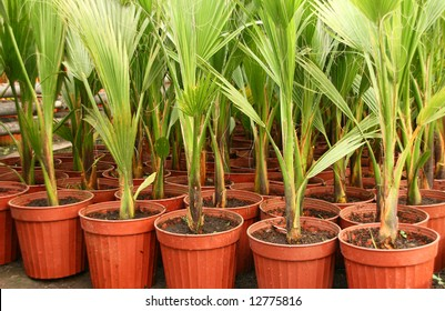 A lot of potted palms in greenhouse