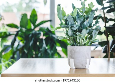 Potted Phlebodium aureum (golden polypody, golden serpen, cabbage palm, gold-foot, blue-star fern, hare-foot) on wooden table. Nice and modern space of home interior. Cozy home decor. Home garden.