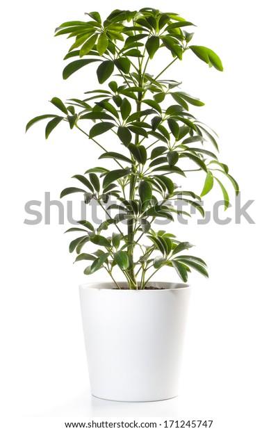 Potted Plant - Aralia