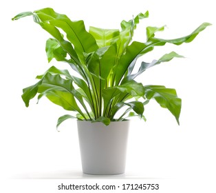 Potted Plant - Bird's Nest Fern Royalty Free Stock Photo