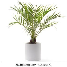 Potted Plant - Date Palm
