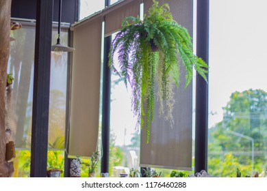 Potted plant fern leaves, ornamental plants hang down in the glass room.