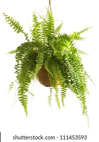 Potted Plant - Fern.A potted plant isolated on white.Nephrolepis exaltata
