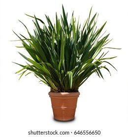 potted plant isolated, new zealand flax