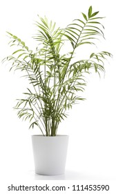 A potted plant isolated on white (Chamaedorea elegans)