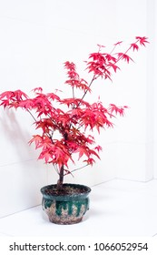 Potted plant red maple tree.