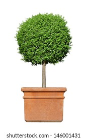 potted privet isolated