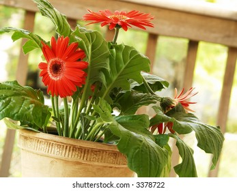 a potted red gerbera daisy on the deck