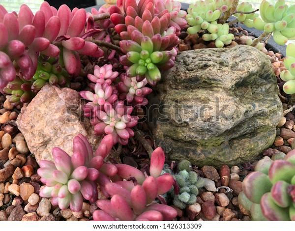 Potted Sedum Succulent Garden Natural Rocks Stock Photo Edit Now
