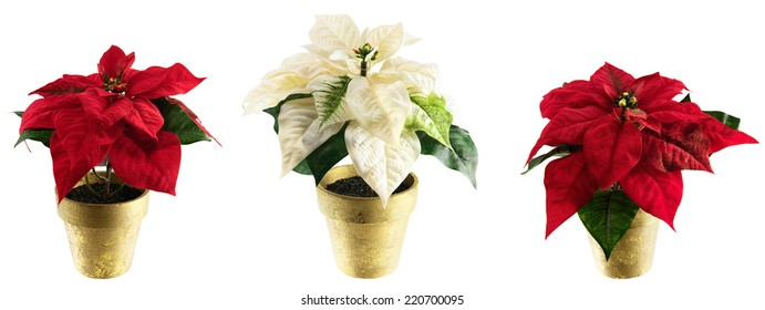 Potted silk floral poinsettias for Christmas and holiday themes. Isolated on white; use as a border or individual plants as design elements.