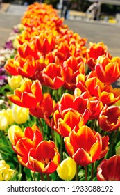 Potted tulips at Flower Park