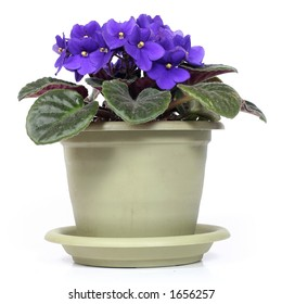 potted violet over white background