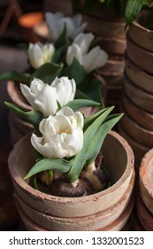 Potted white , small tulips in a garden center.