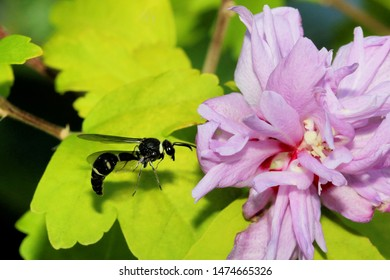 Potter's Wasp - Close up photograph of a Potter's Wasp flying around a pink Rose of Sharon flower. Selective focus on the wasp.