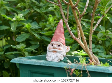A Pottery Gnome with faded Paint stares out of a Plant pot in a Scottish Garden. Blairgowrie, Perthshire, Scotland.