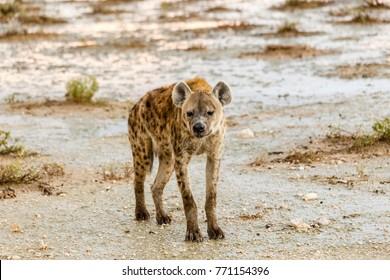 pottet hyena, Crocuta crocuta, Etosha National Park, Namibia
