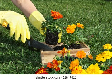 Potting colorful flowers outdoors during spring