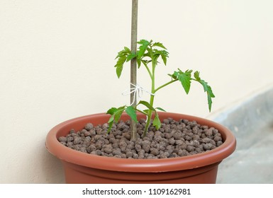 Pottoed tomato soil at balcony