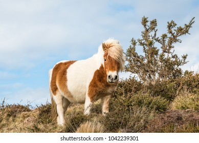 Pottok Poney from the Basque country, France.